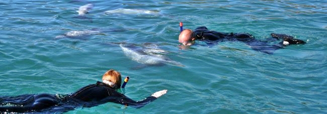 Akaroa Swim with Dolphins