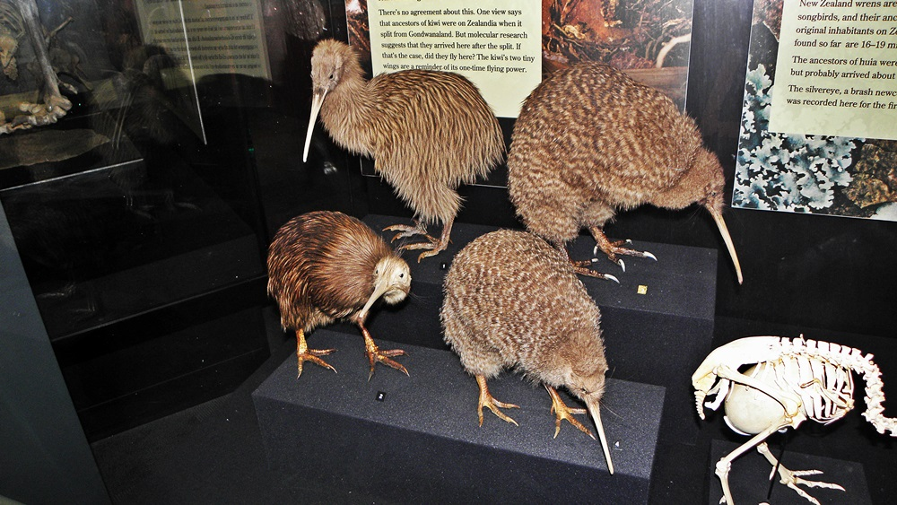 Kiwi Bird, Te Papa Museum, Wellington