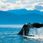 Whale-Tail-Kaikoura-phto-Chris-McLennan2-601x340